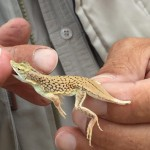 "Is There Life in the Namib? This Gecko Says, ""Yes!"""