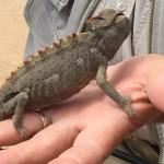Chameleon: Changeable Desert Creature